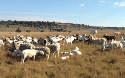 Meet our sheep